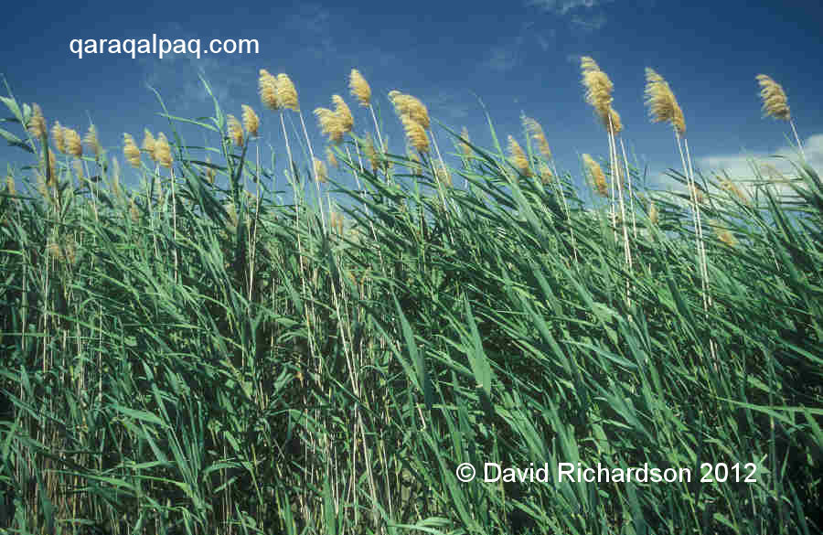 Reedbed in the Aral delta