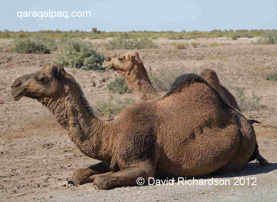 Camels in the northern Amu Darya delta